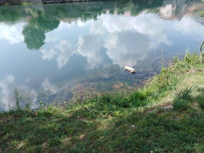 svinja rijeka trebinje.jpg
