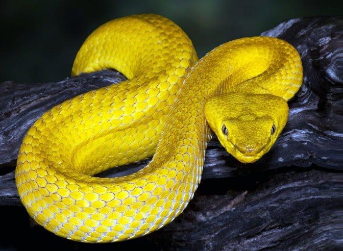 zlatna zmija brazil.jpg