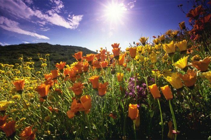 Sunce cvijece.jpg