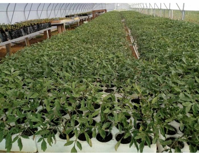 rasad paradajz.jpg