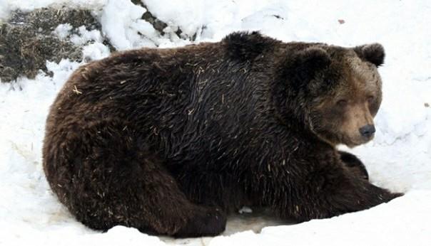 gacanin zadavio medvjeda