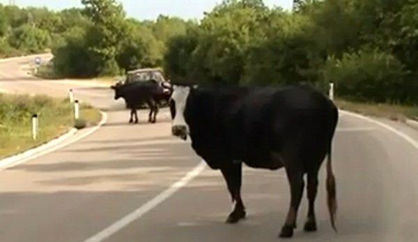 krave na putu trebinje-herceg novi