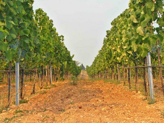 carski vinograd usce
