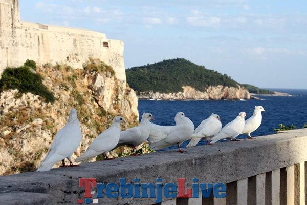 golubovi