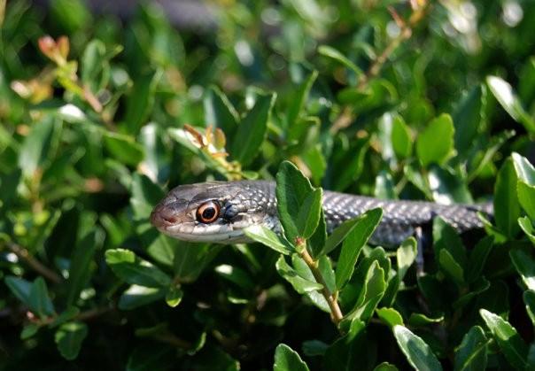 skuvala zmiju mostar