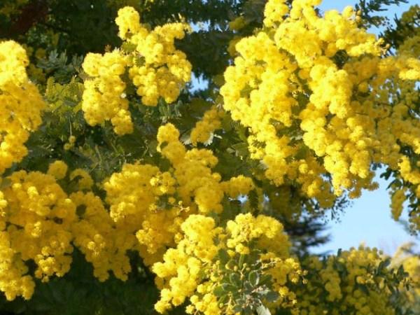 praznik mimoze