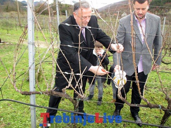 rezidba loze vukoje carski vinogradi