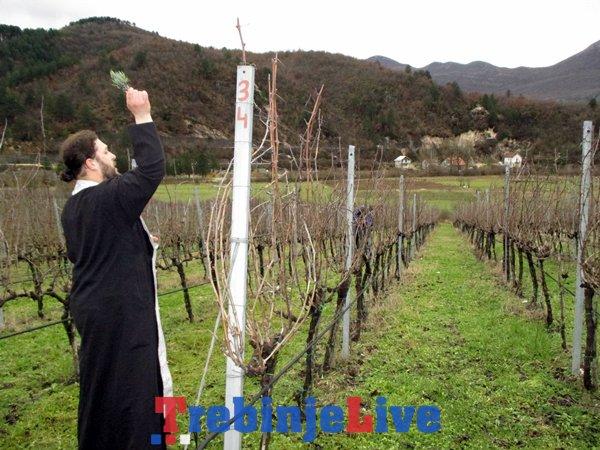 rezidba loze vukoje carski vinogradi (1)
