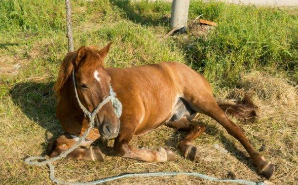 izmuceni konji ljubinje