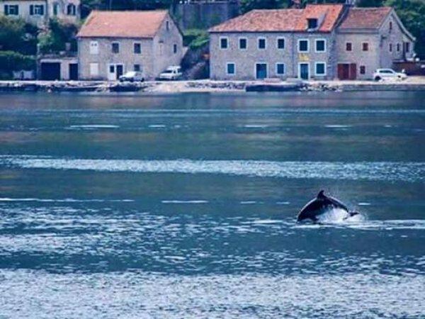 delfini kotor dobrota