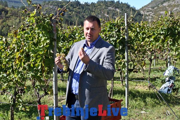 pocetak berbe grozdja u carskim vinogradima podruma vukoje