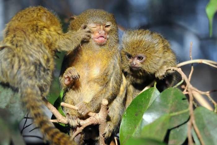 Patuljasti marmoset (Cebuella pygmaea) je najmanji majmun na svijetu. Narastu najviše 14 do 16 santimetara. Mužjaci dostižu težinu do 140 grama