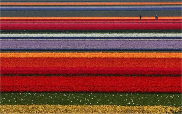 polje lala cvijece