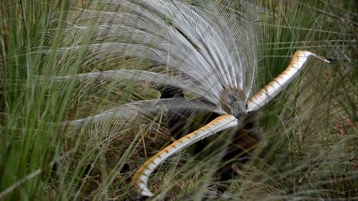 ptica lira imitator