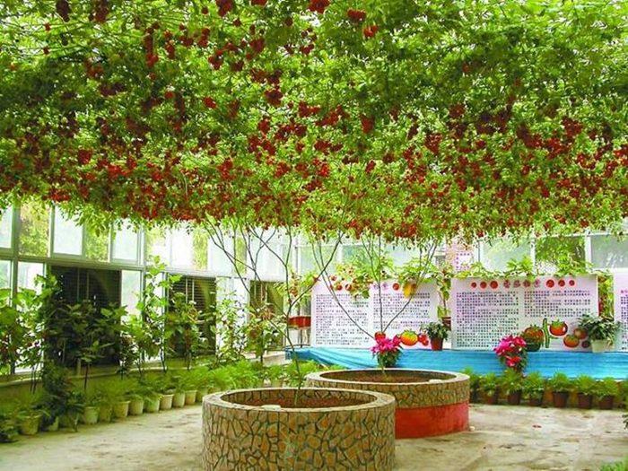 Oktopod drvo paradajza