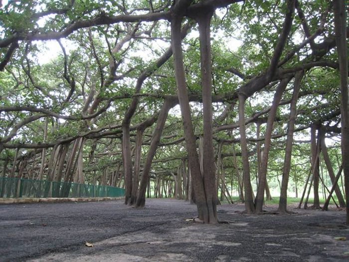 drvo veliki banjan