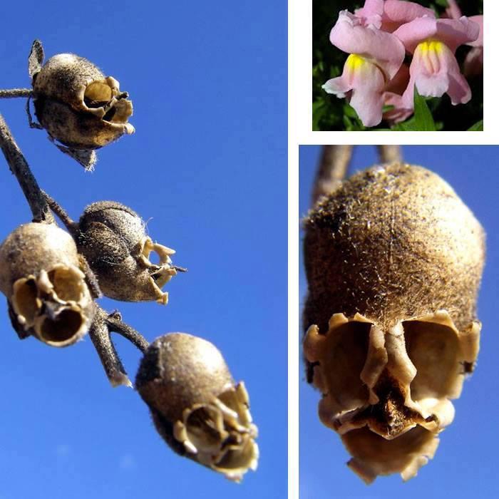 biljka ljudska lobanja
