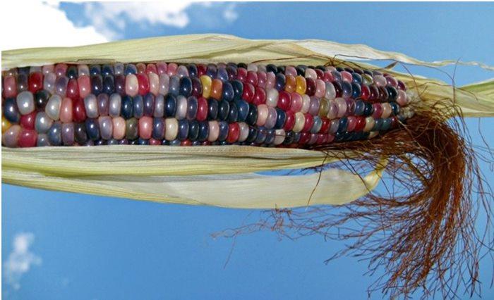 neobicni raznobojni kukuruz 2