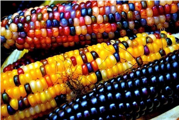 neobicni raznobojni kukuruz 5