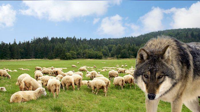 vuk ovce
