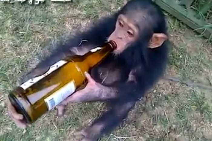 majmun pivo
