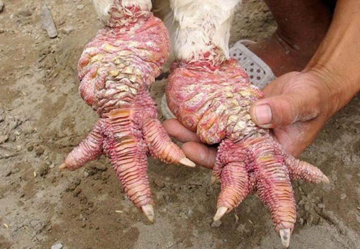 kokoske noge vijetnam