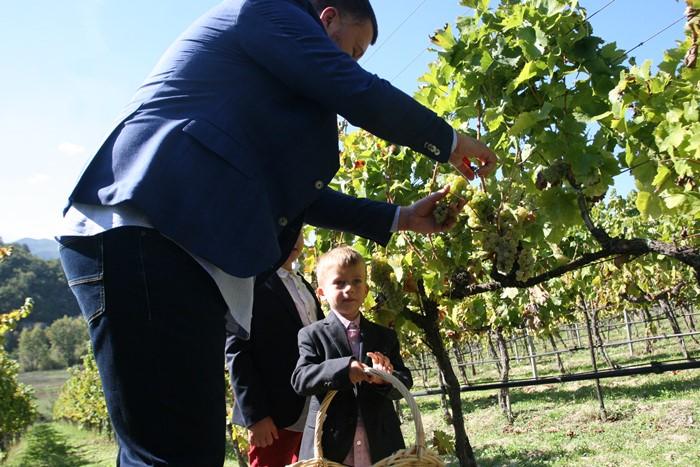berba vukoje carski vinogradi (1)