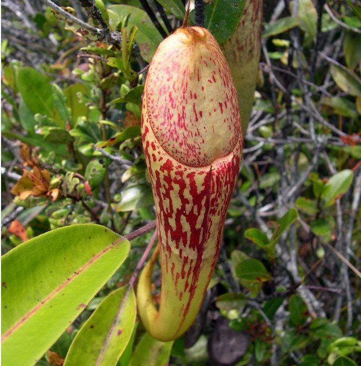penis biljka
