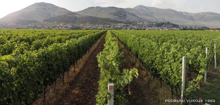 vinogradi Zasad polje slika br.5