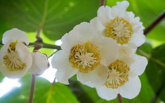 cvijet kivija
